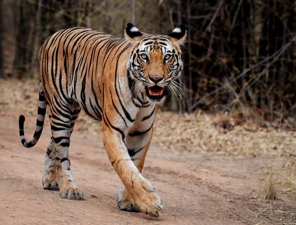 The Bengal Tiger on his morning stroll, Bandhavgarh, India