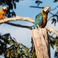 Blue and Yellow Macaw Couple (Ara ararau)