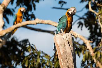 Blue and Yellow Macaw Couple (Ara ararau