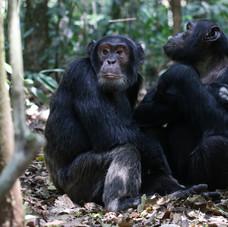 Chimpanzees, Kibale National Park, Uganda