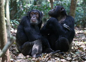 Mark Fernley's first trip to Photograph the wild Chimps