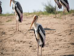 Painted Stork of Chambal River, Indian Wildlife Photography Workshop/Safari