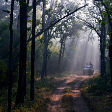 Early morning game drive following the Tiger cubs, Bandhavgarh, India