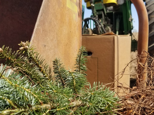 Planting Christmas Trees!