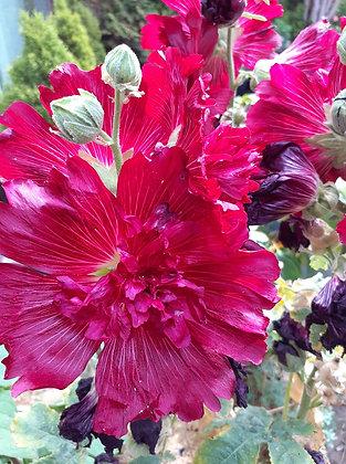 Rose trémière rouge dentelée (alcea rosea)
