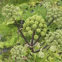 Angélique (angelica archangelica)