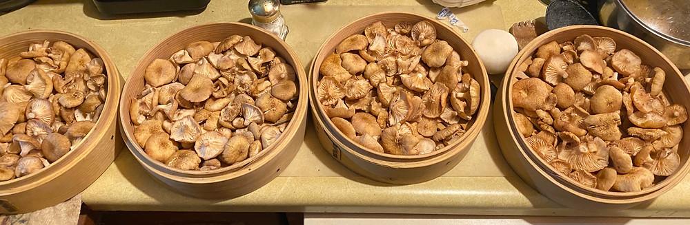 "Capped ""Ringless Honey Mushroom"" - Armillaria Tabescens."