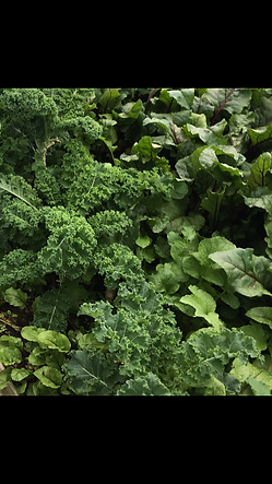 Kale and garden fresh greens