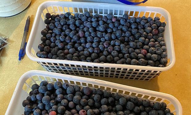 Mountain Brook Farm Blueberries