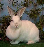 A Rabbits Dewlap