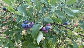 Mountain Brook Farm Blueberries Alabama