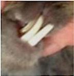 Rabbits Malocclusion Teeth