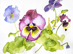 Giant Pansies