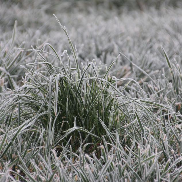 Frosty Morning Grass