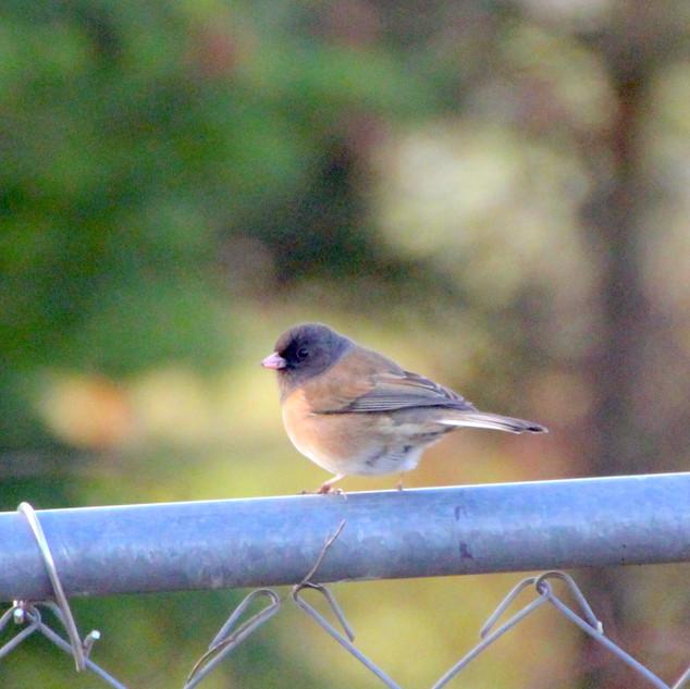 Birdie on Fence