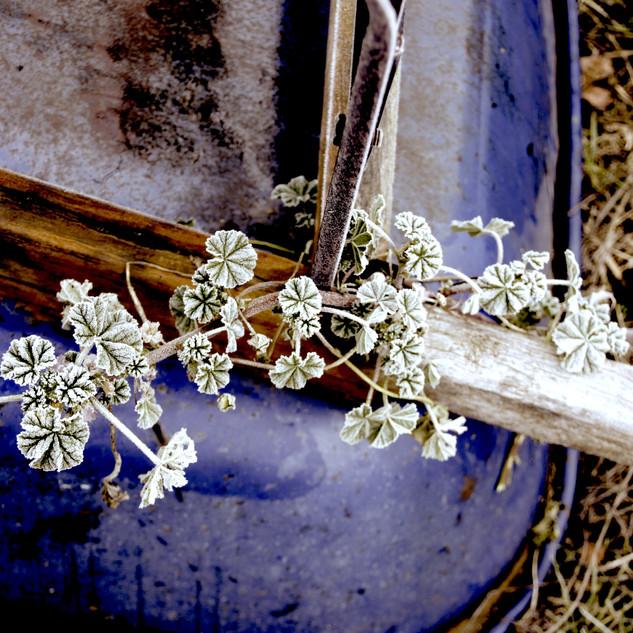 Frosty Vine on Wheelbarrow