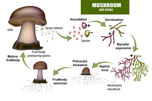 Mushroom.Life.Cycle.jpg