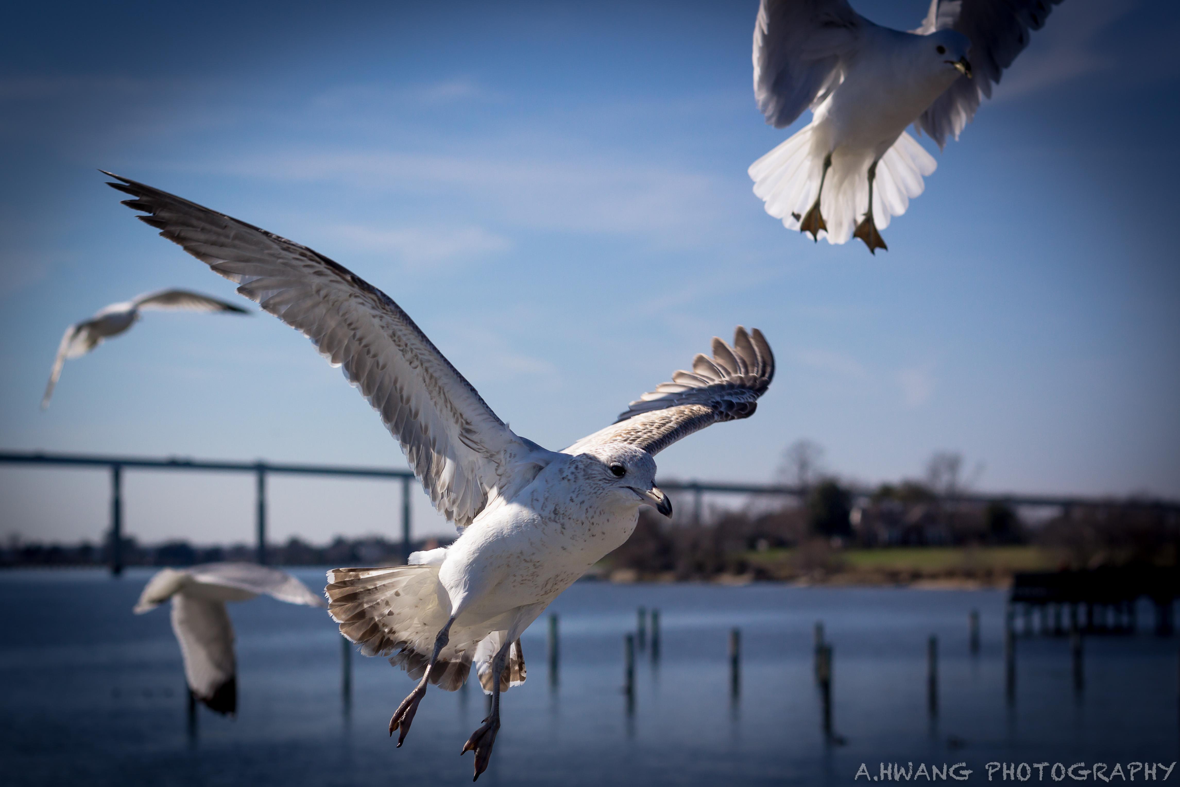 Seagulls Solomons Island Landing