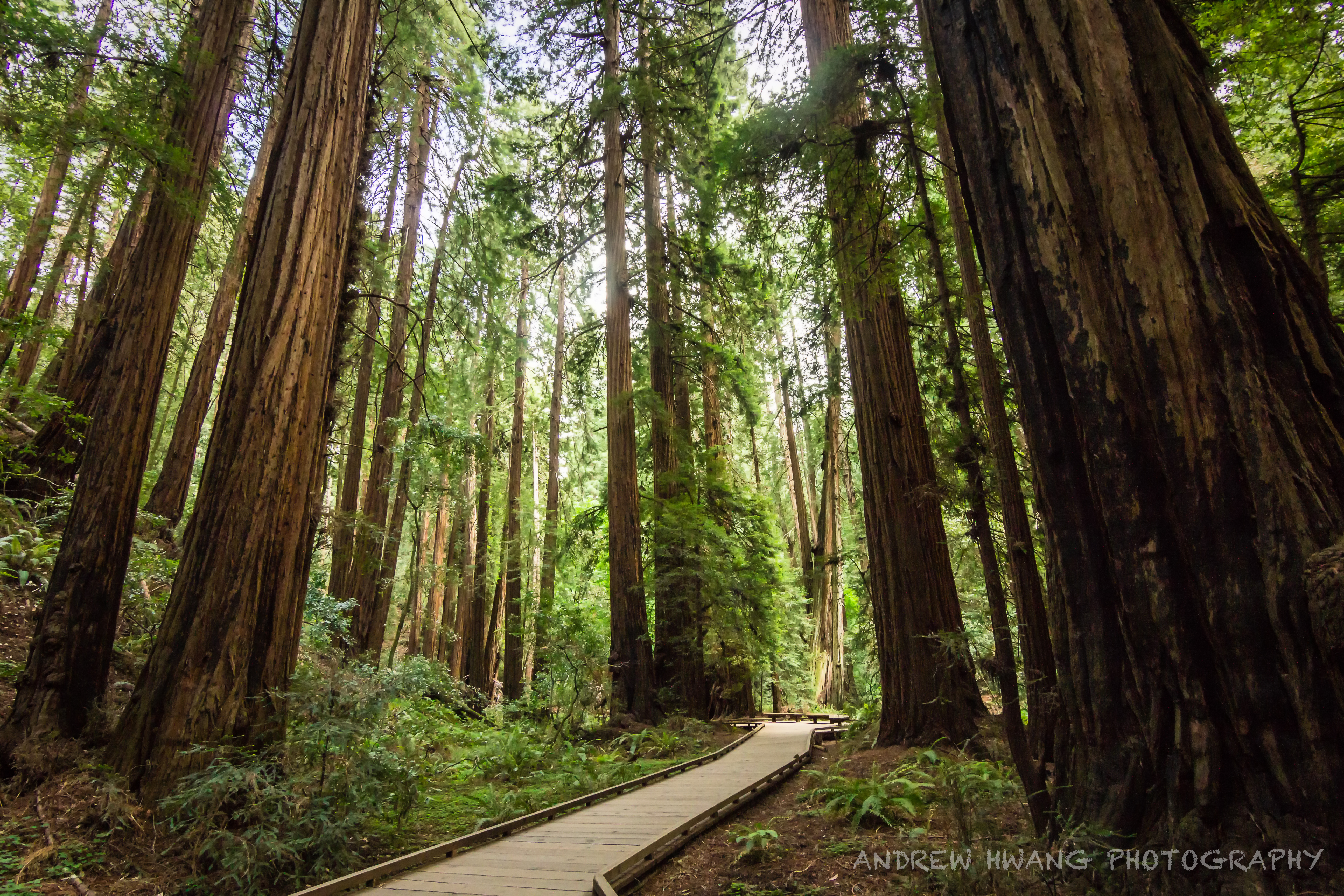 Muir Woods 6