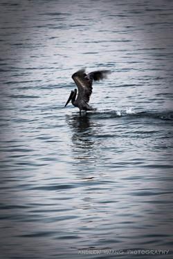 Santa Barbara Pelican Diving