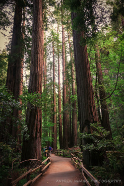 Muir Woods 5