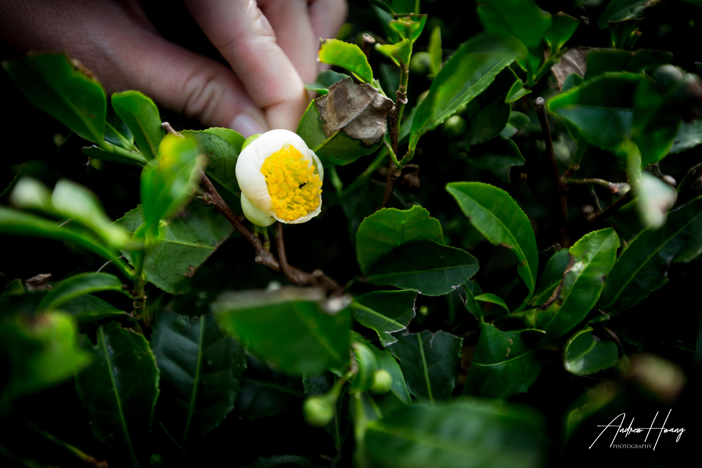OSULLOC Tea Leaf