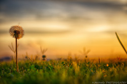 Dandelion Sunset 3