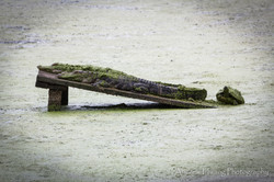 Audubon Swamp Gator_4