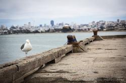 San Fran Seagulls