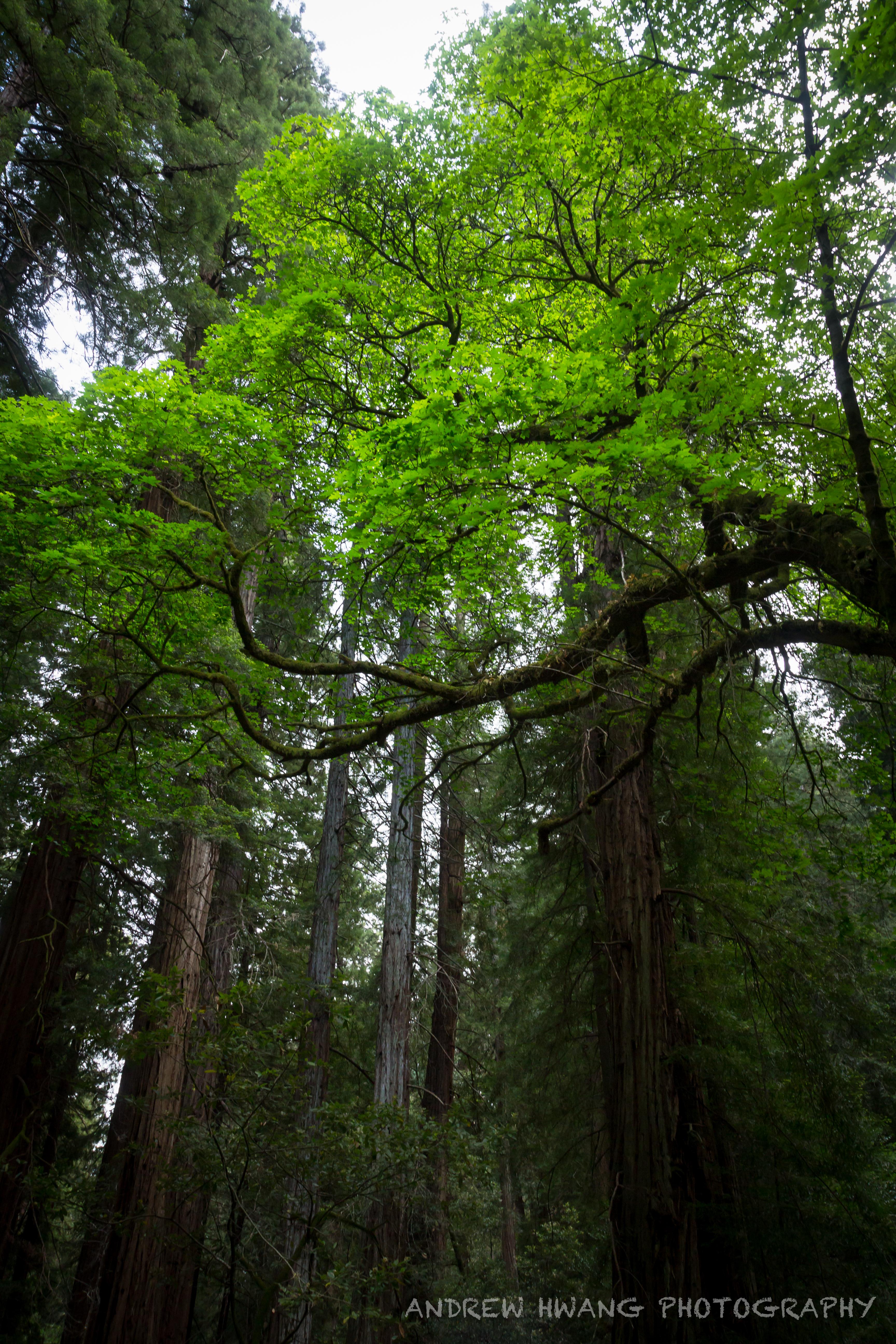 Muir Woods 7