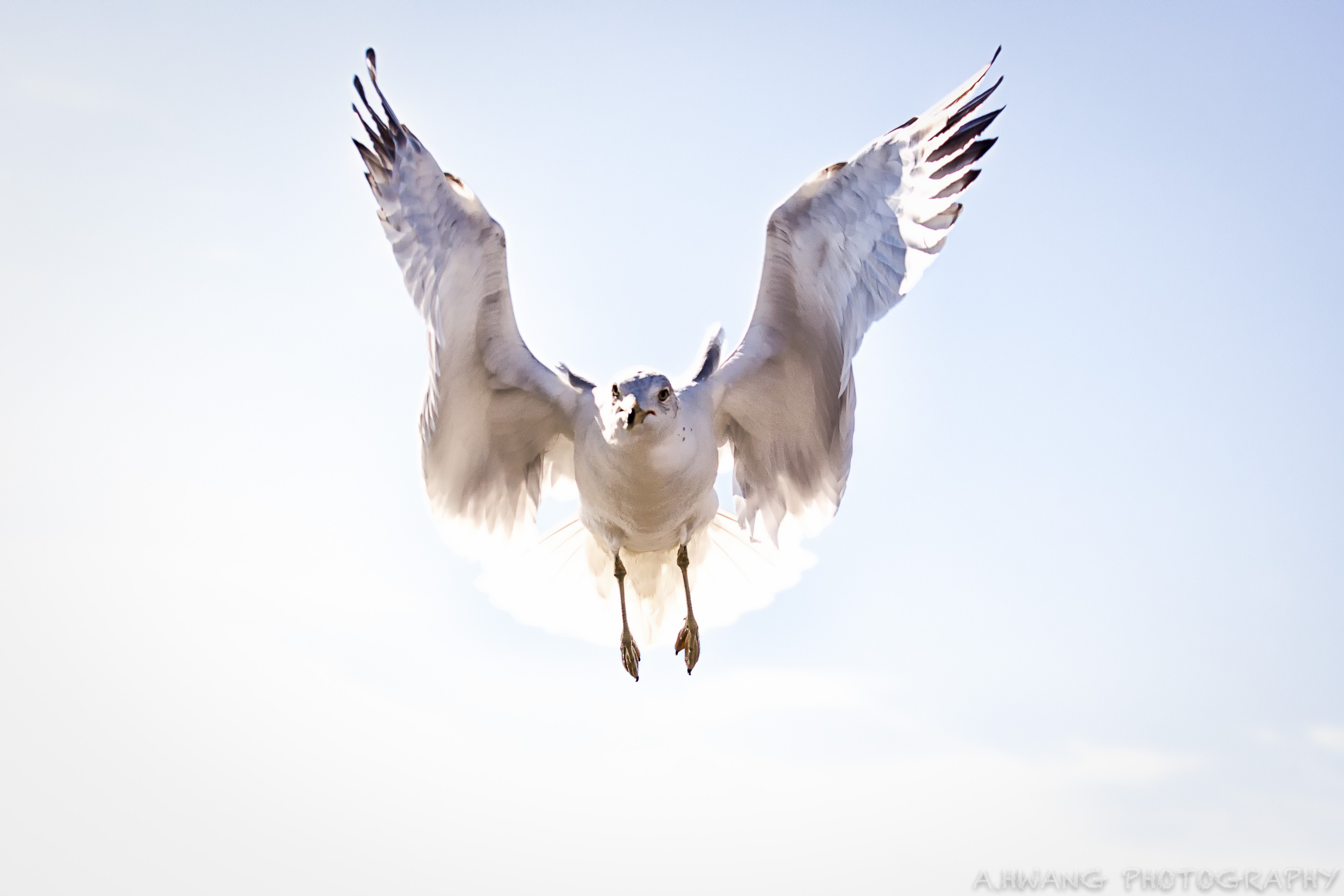 Seagull Coming In for Landing