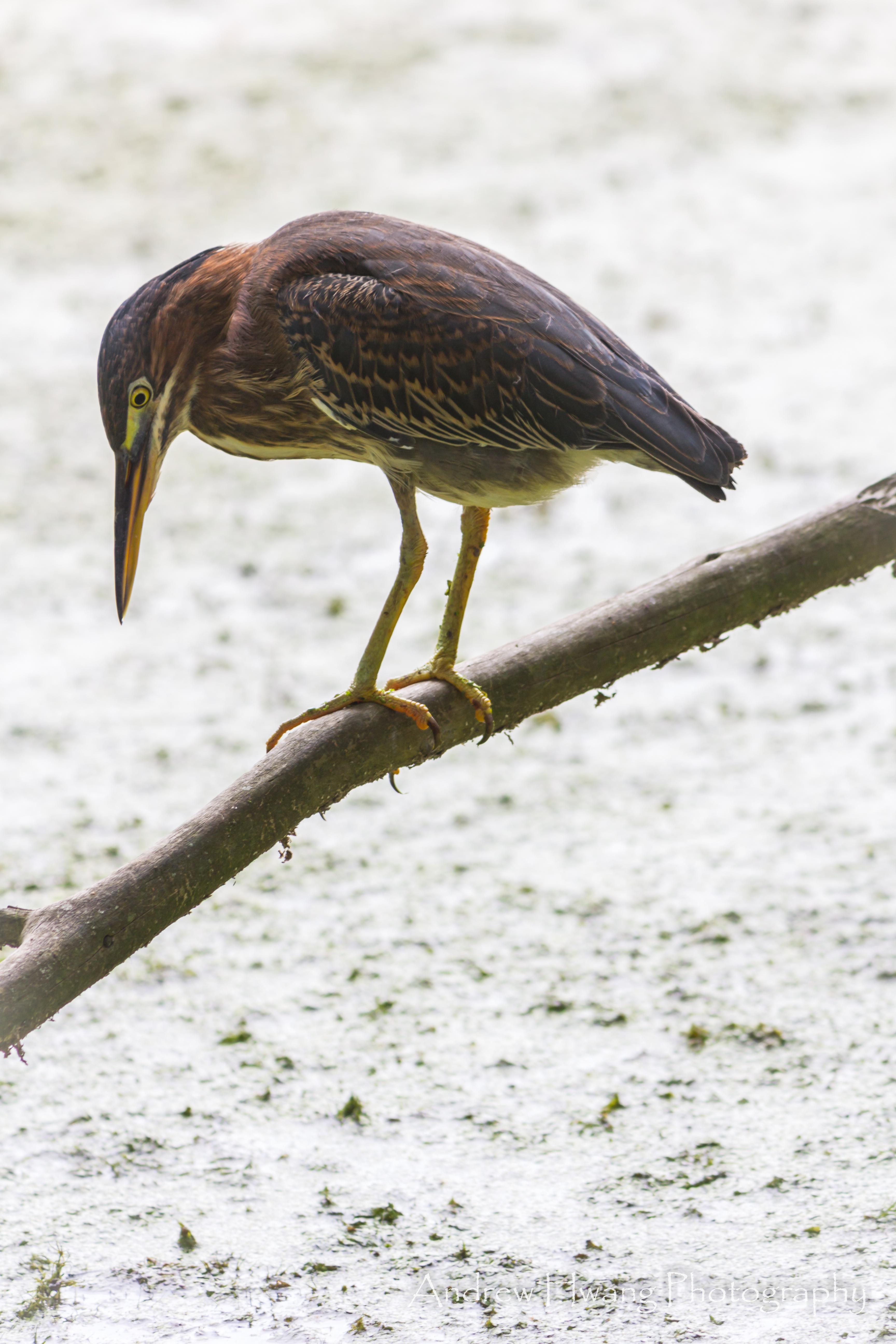 Audubon Swamp Bird_4