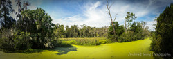 Audubon Swamp  Pano