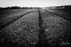 OSULLOC Tea Leaf Farm B&W