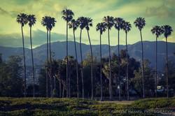 Palm Tree at Santa Barbara