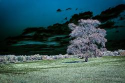 Observatory Tree Solarized
