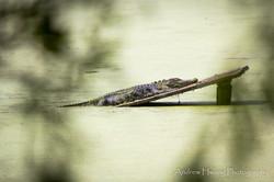 Audubon Swamp Gator_3