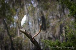Audubon Swamp Bird_2