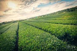 OSULLOC Tea Leaf Farm Fields