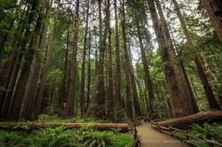 Giant Rewoods