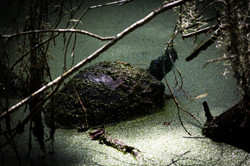 Audubon Swamp Turtle