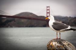 San Fran Seagulls 3