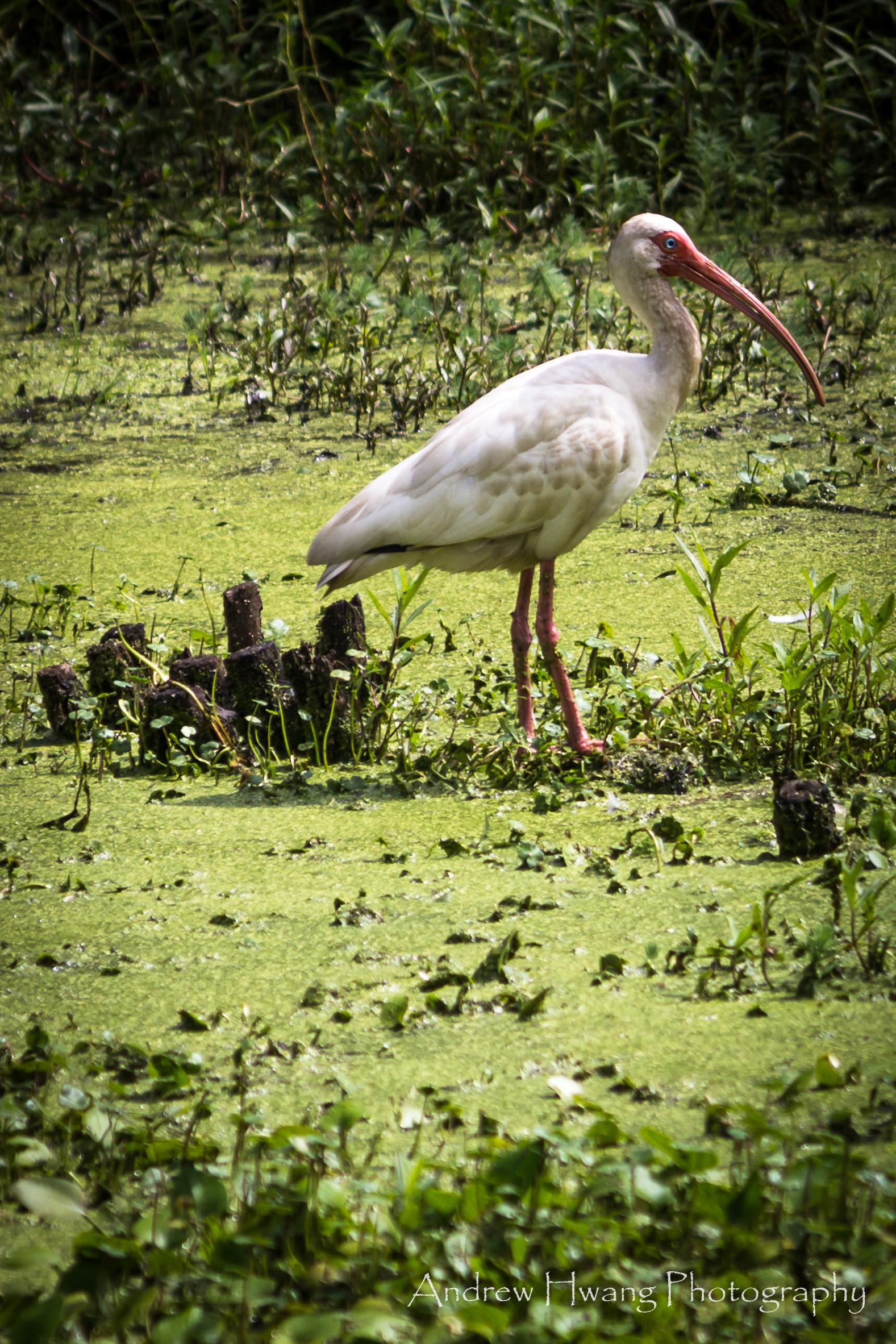 Audubon Swamp Bird_3