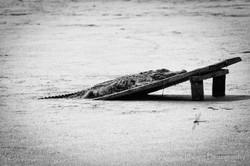 Audubon Swamp Gator