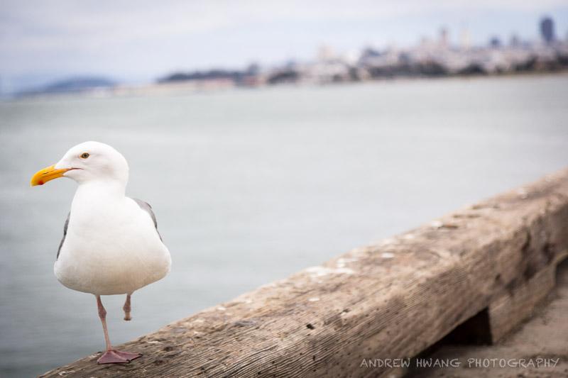 San Fran Seagulls 2