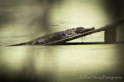 Audubon Swamp Gator_2