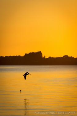 Pelican Sunset 2
