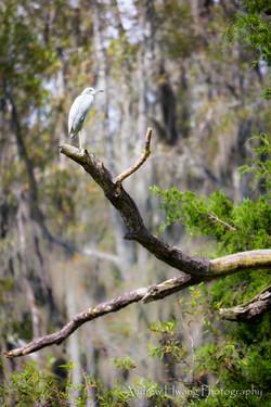 Audubon Swamp Bird