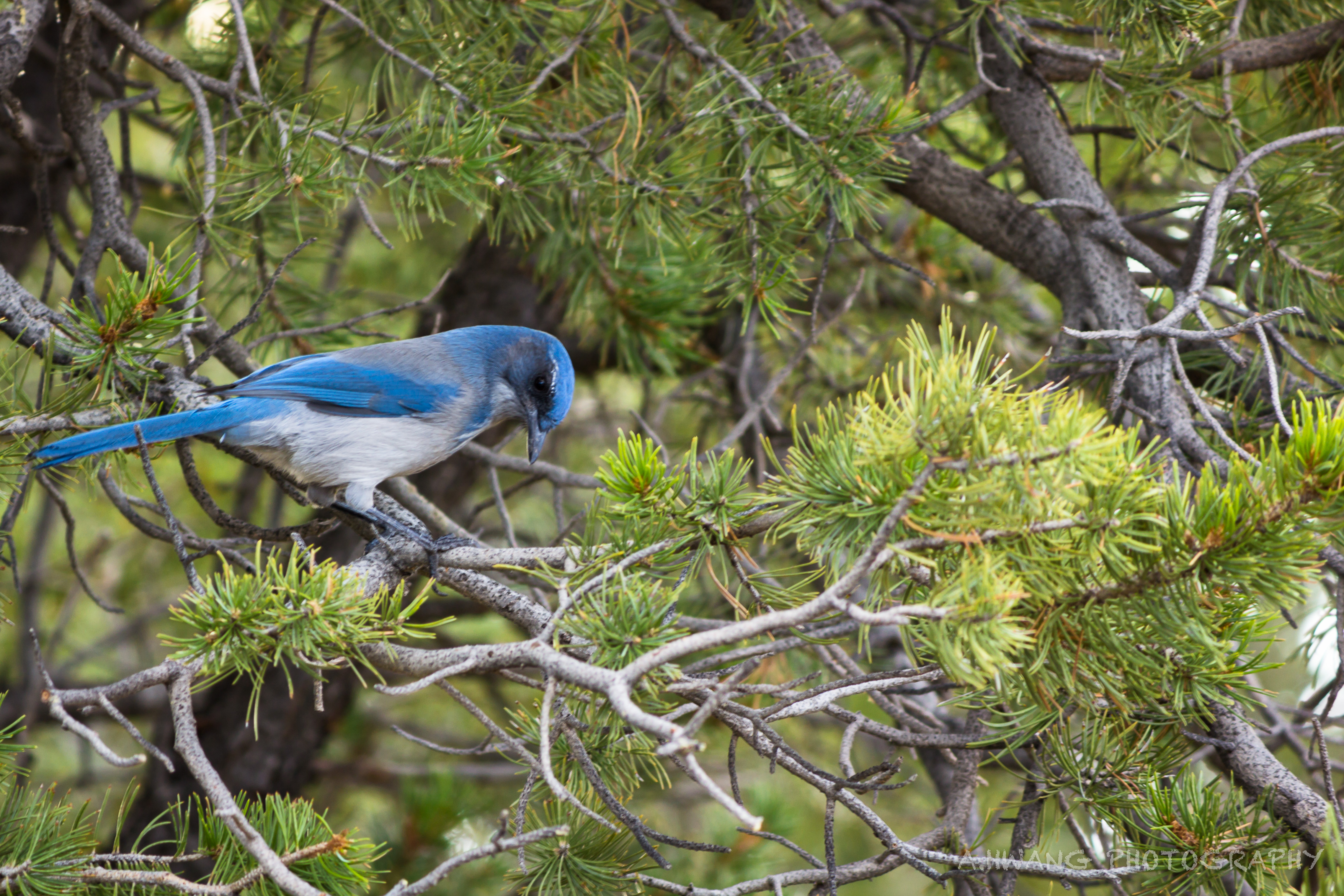 Blue Jay in the Canyon
