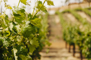 Victorian residents are using Snap Send Solve to protect the Australian wine industry.